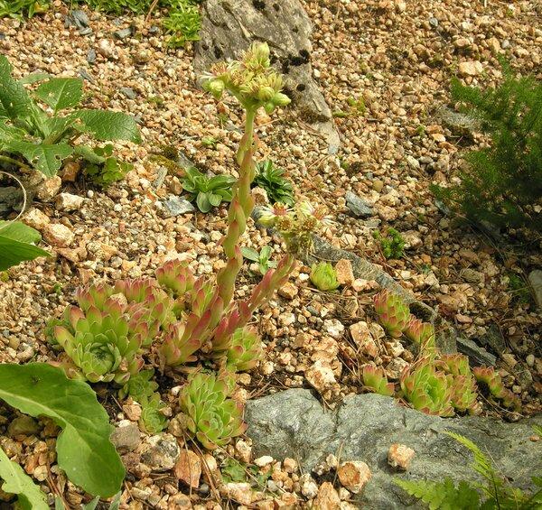 Jovibarba globifera (L.) J.Parn. subsp. globifera
