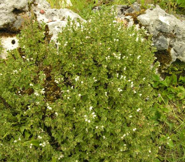 Acanthoprasium frutescens (L.) Spenn.