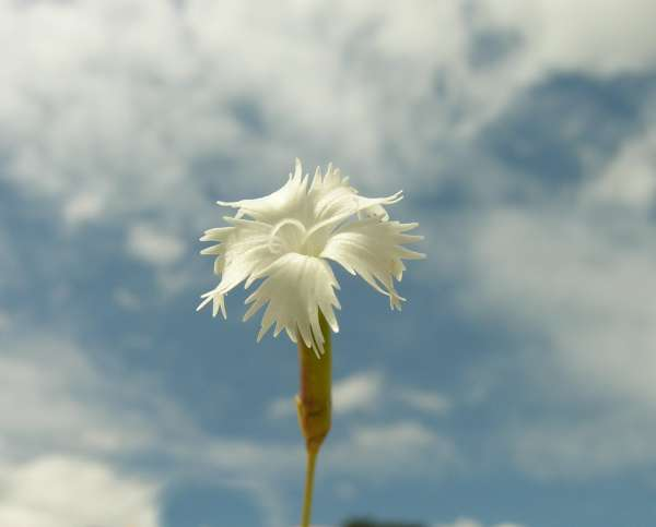 Dianthus petraeus Waldst. & Kit.