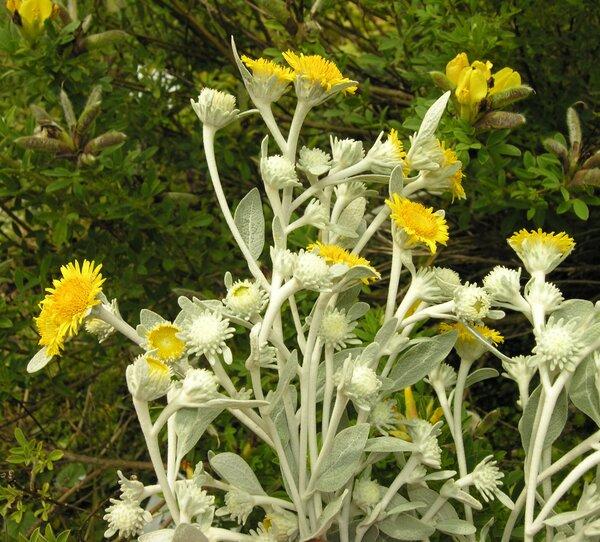 Pentanema verbascifolium (Willd.) D.Gut.Larr., Santos-Vicente, Anderb., E.Rico & M.M.Mart.Ort.