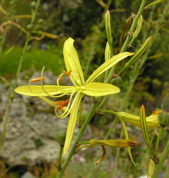 Asphodeline liburnica (Scop.) Rchb.