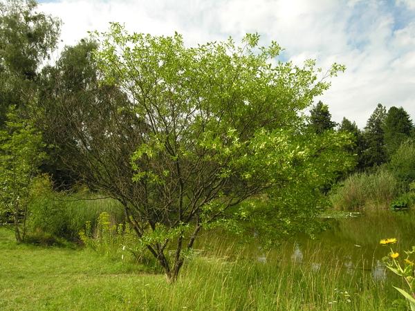 Ptelea trifoliata L. subsp. pallida (Greene) V. Bailey