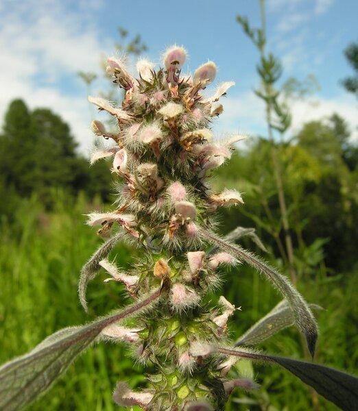 Leonurus cardiaca L. subsp. villosus (Desf. ex Spreng.) Hyl.