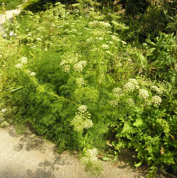 Coristospermum cuneifolium (Guss.) Bertol.