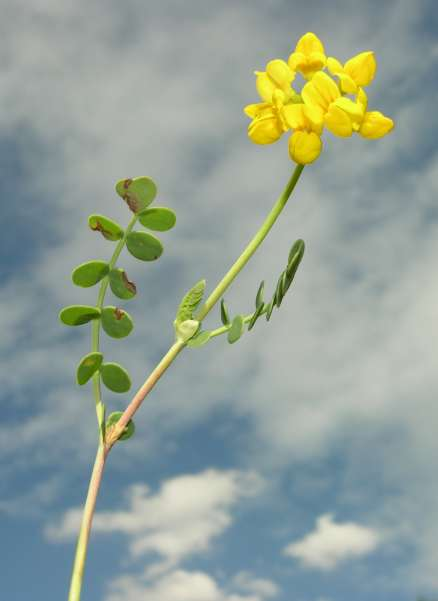 Coronilla vaginalis Lam.