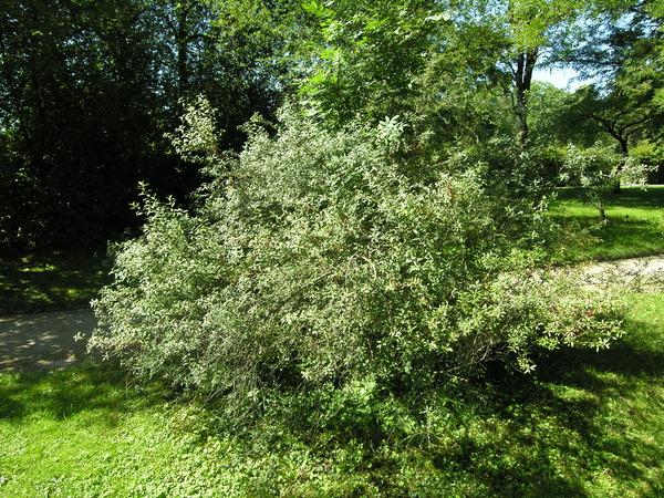 Prunus incana (Pall.) Batsch