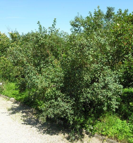 Lonicera caerulea L. subsp. caerulea