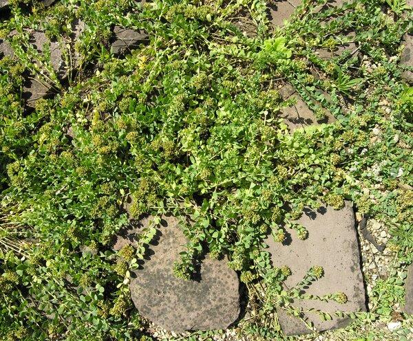 Telephium imperati L. subsp. imperati
