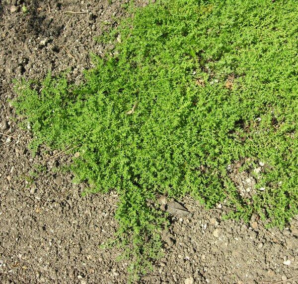 Herniaria hirsuta L. subsp. hirsuta
