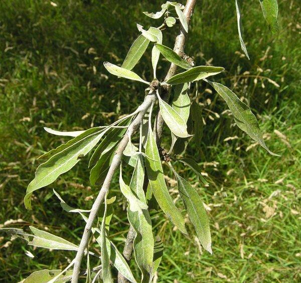 Pyrus eleagrifolia Pall.