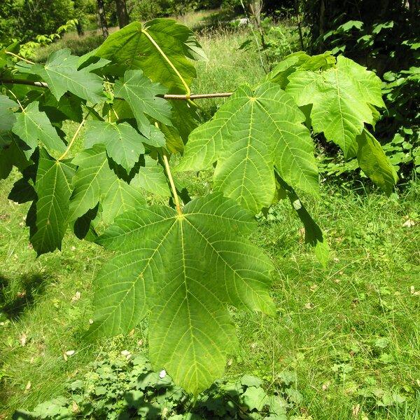 Acer velutinum Boiss.
