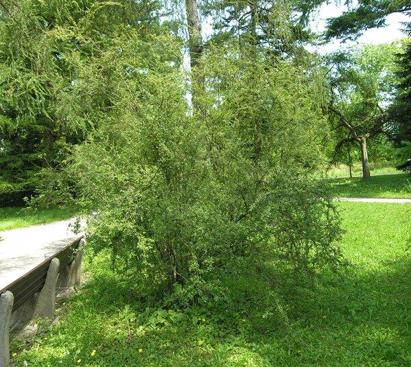 Cotoneaster dielsianus E.Pritz.