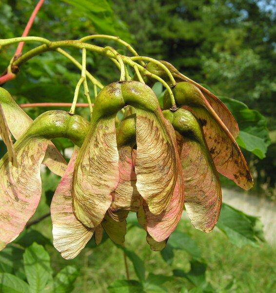 Acer heldreichii Orph. ex Boiss.