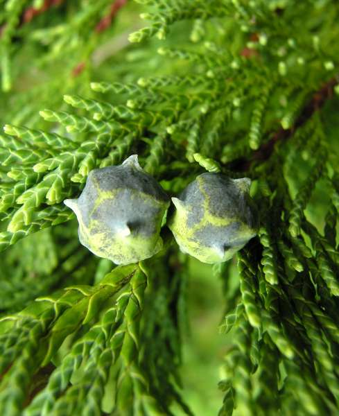 Chamaecyparis nootkatensis (D.Don) Spach