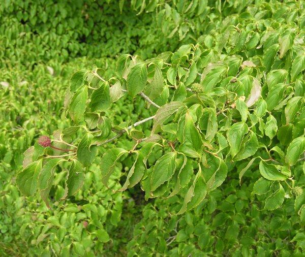 Cornus kousa (F.Buerger ex Miq.) Hance
