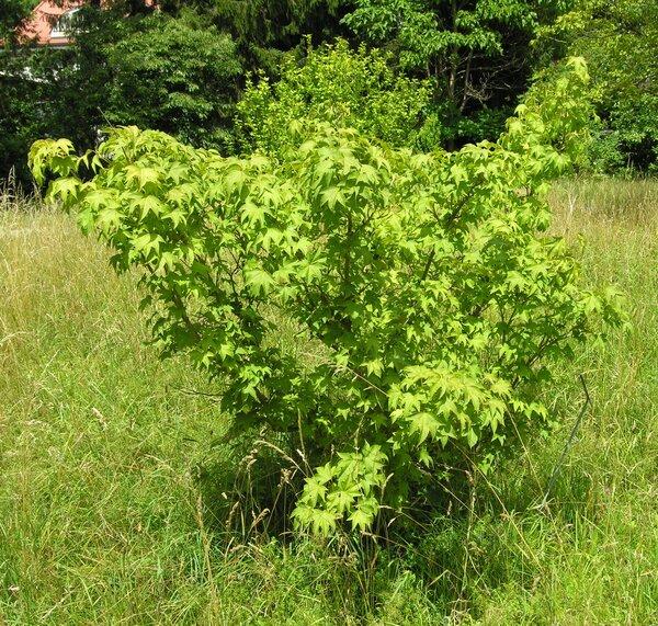 Acer erianthum Schwer.