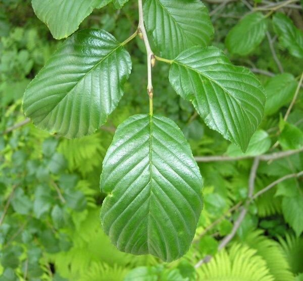 Atadinus alpinus (L.) Raf.