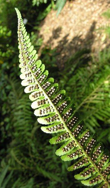 Dryopteris borreri (Newman) Newman ex Oberh. & Tavel.