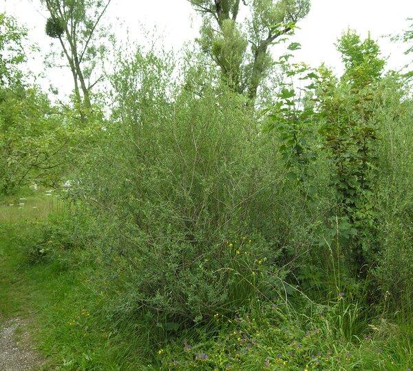 Salix purpurea L. subsp. lambertiana Rech.f.