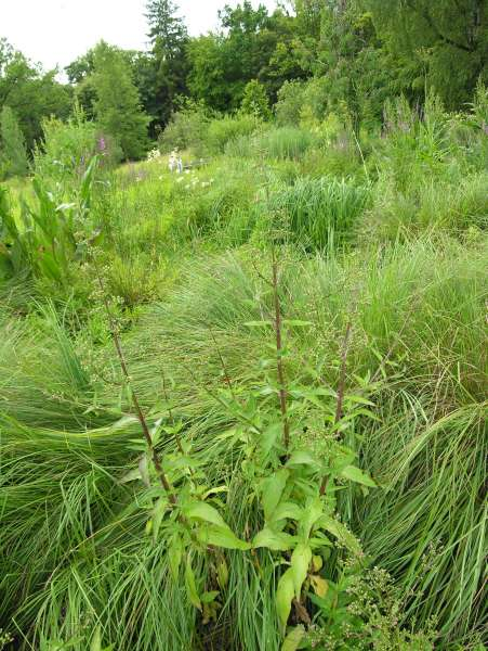Scrophularia umbrosa Dumort. subsp. umbrosa