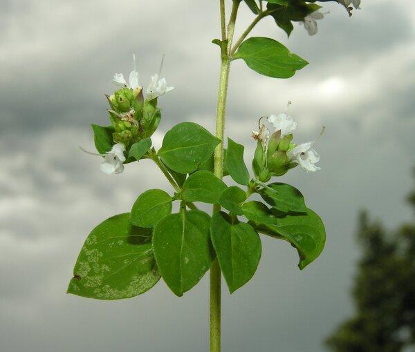 Origanum onites L.