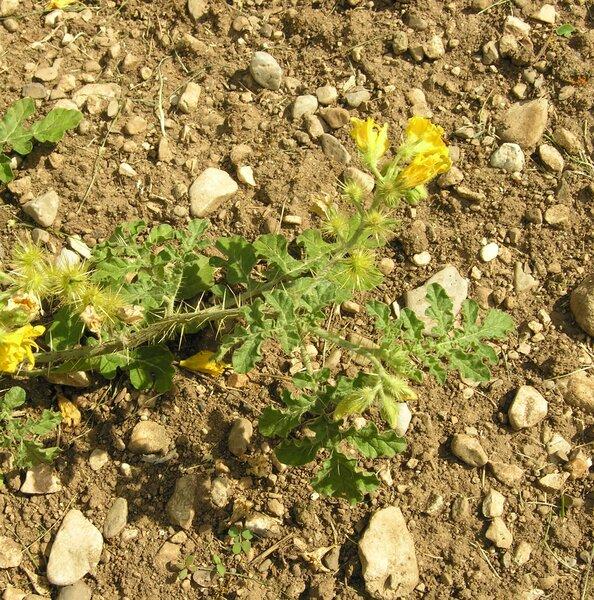 Solanum rostratum Dunal