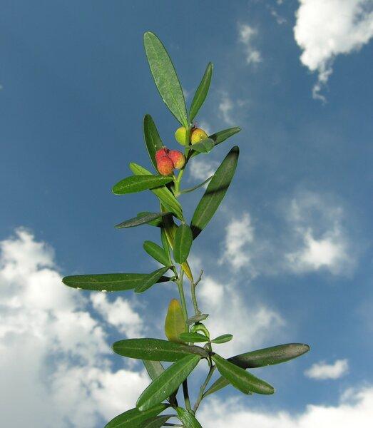 Cneorum tricoccon L.