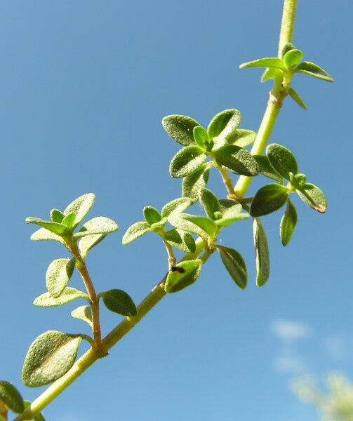 Thymus citrodorus Schreb.