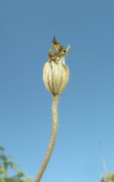 Lychnis coronaria (L.) Desr.