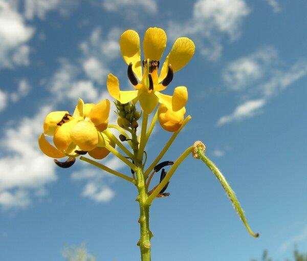 Cassia marylandica L.