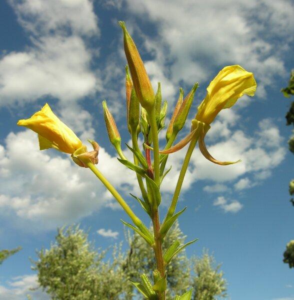 Oenothera glazioviana Micheli