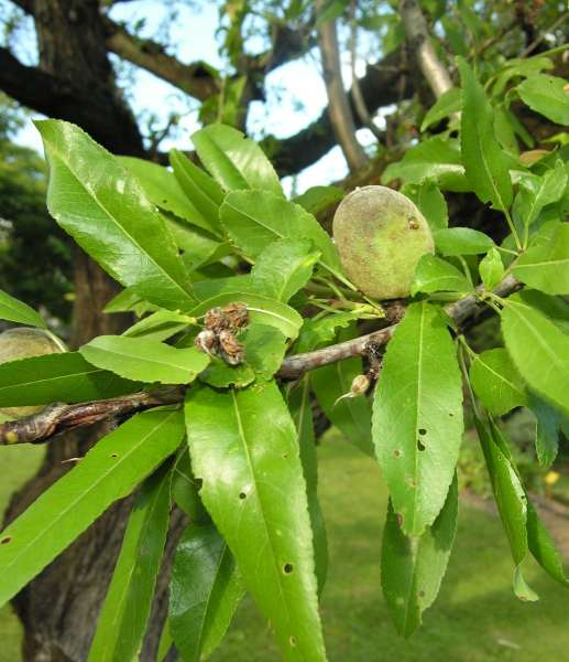 Prunus dulcis (Mill.) D.A.Webb