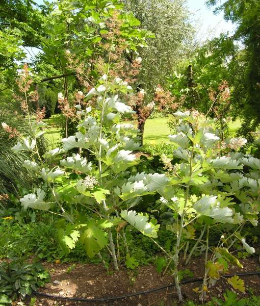 Bocconia cordata Willd.