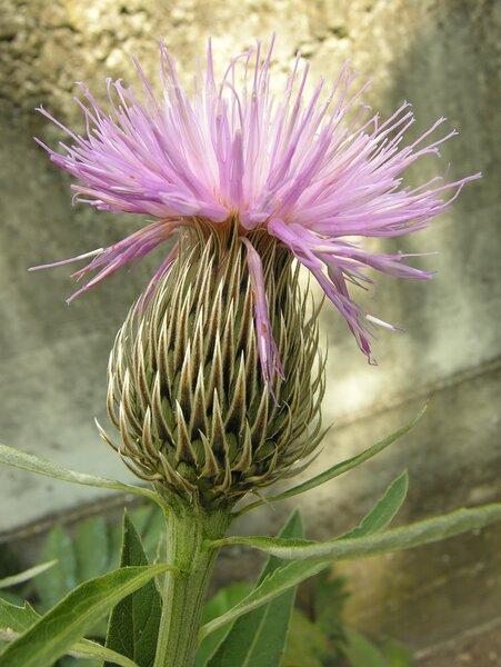 Serratula centauroides L.