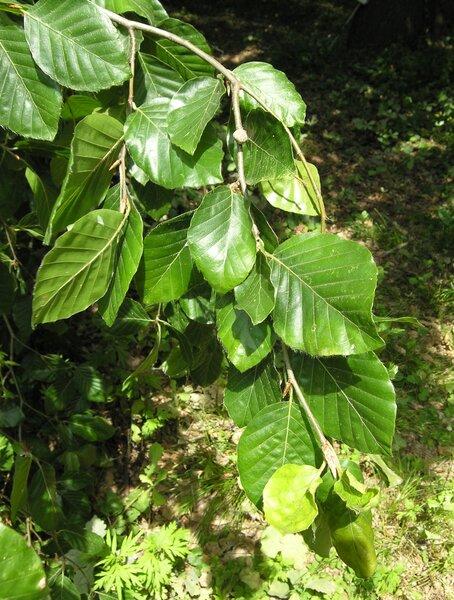 Fagus sylvatica L. 'Pendula'