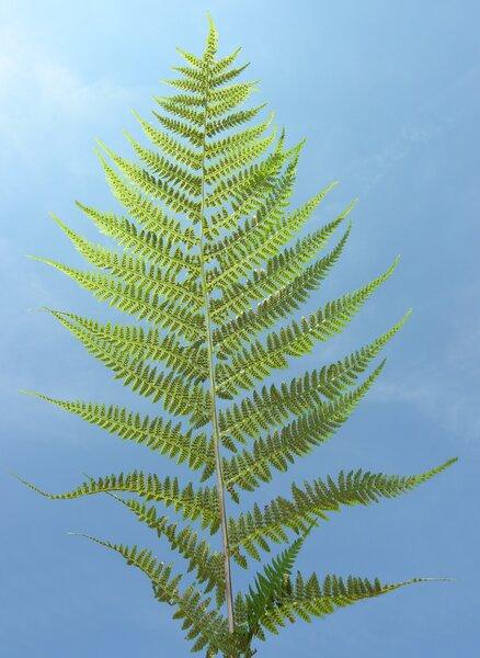 Pseudathyrium alpestre (Hoppe) Newman