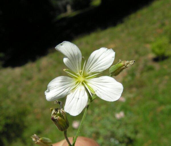 Cherleria laricifolia (L.) Iamonico subsp. laricifolia