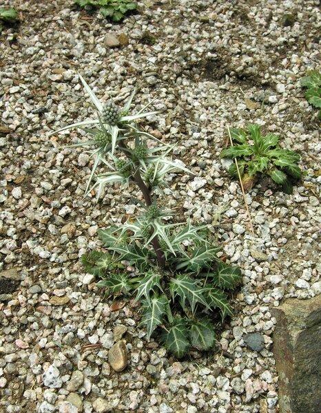 Eryngium variifolium Coss.