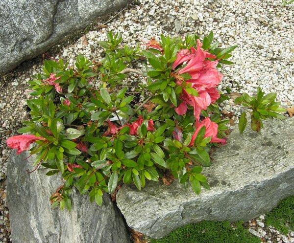 Rhododendron nakaharai Hay.