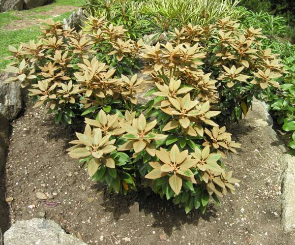 Rhododendron pachysanthum Hayata