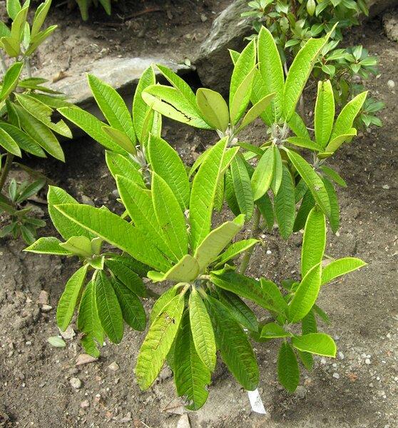 Rhododendron denudatum H.Lév.