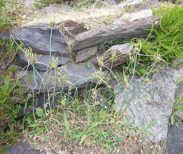 Allium oleraceum L. subsp. oleraceum