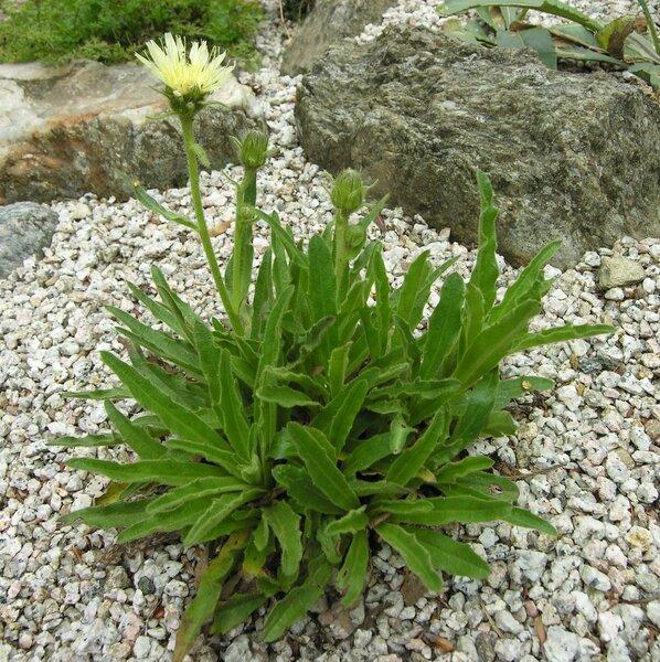 Schlagintweitia intybacea (All.) Griseb.