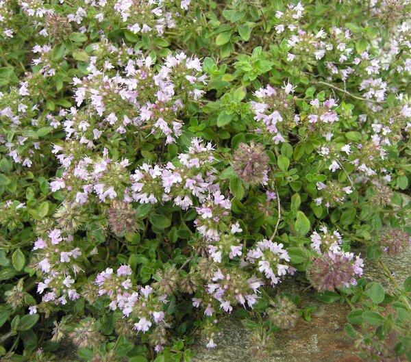Thymus oenipontanus Heinr.Braun ex Borbás