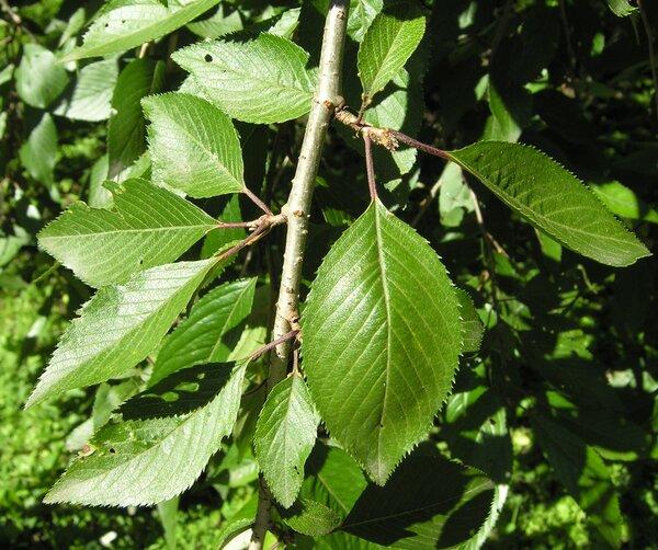 Prunus subhirtella Miq. 'Pendula'