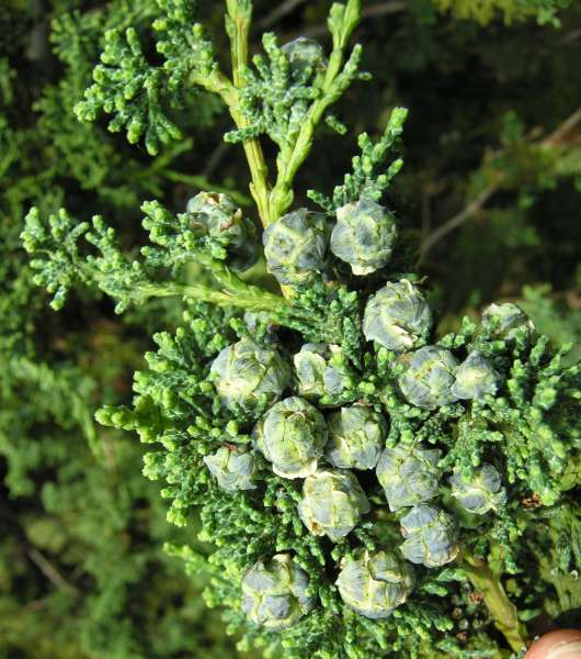 Chamaecyparis obtusa (Siebold & Zucc.) Endl. 'troubetzokyana'