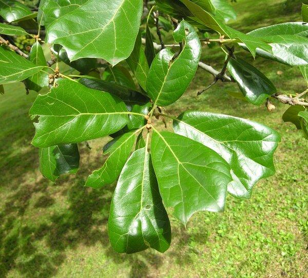 Quercus marilandica Münchh.
