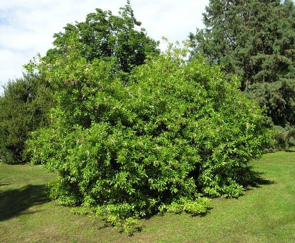 Cyrilla racemiflora L.