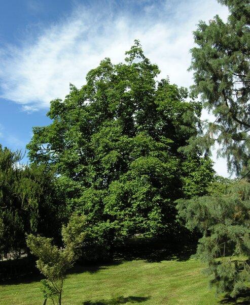 Magnolia x veitchii Bean