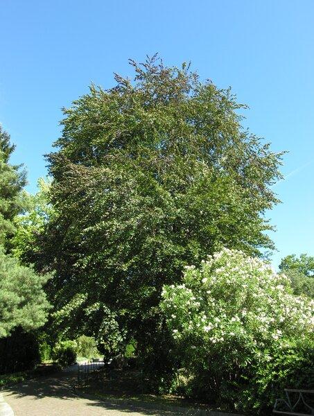 Fagus sylvatica L. 'Atropurpurea'